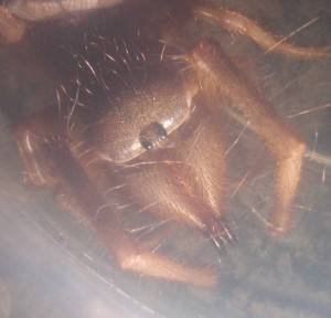 spindelns huvud