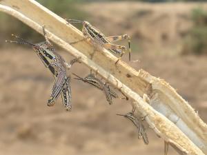 gräshoppor